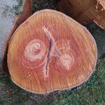 Le chêne pourpre en morceaux